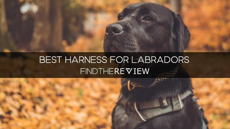 Best Harness for Labradors